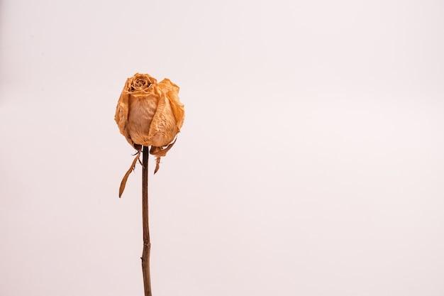 밝은 색의 배경에 고립 된 잎없이 마른 흰 장미