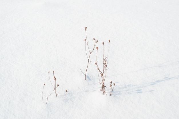 雪の吹きだまりで野花を乾かします。雪の降る冬の晴れた日。