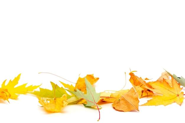 Сухие желтые и зеленые кленовые листья, изолированные на белом фоне