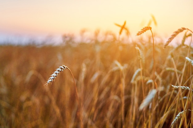 Dry yellow golden grain field in the countryside at sunset