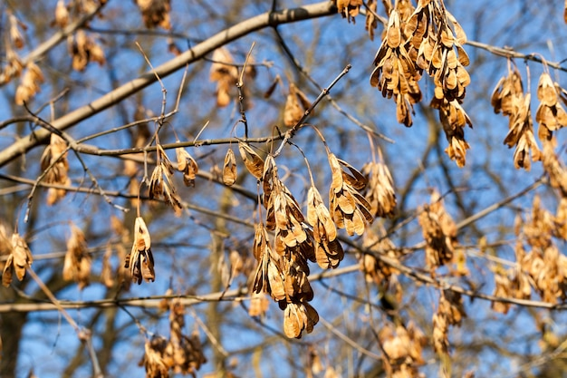 Сухие семена желтого клена на ветках в безветренную погоду