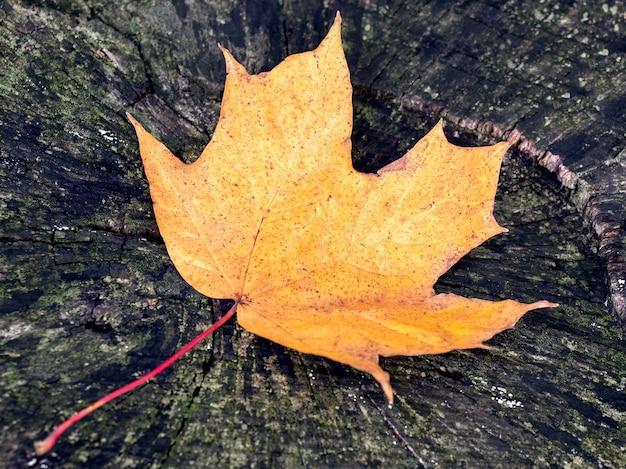 Сухой желто-оранжевый кленовый лист на старом гнилом пне