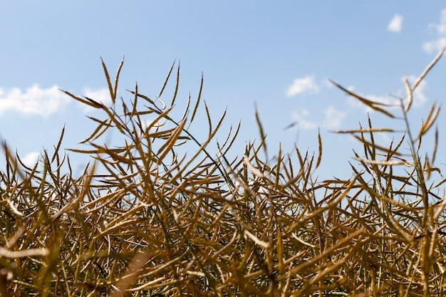 Сухие желтые стручки рапса на поле фермы. крупным планом на поверхности голубого неба. дневное время и сельскохозяйственное поле