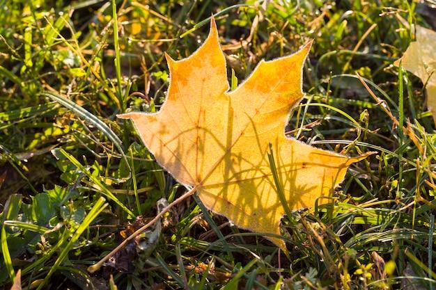 Сухая пожелтевшая листва кленов