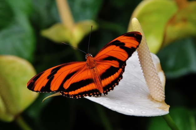 Dryadula butterfly with orange and black wings resting on a calla flower