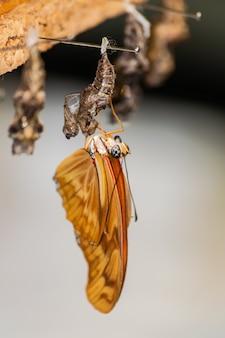 Дриас юлия бабочка, штриховка из куколки