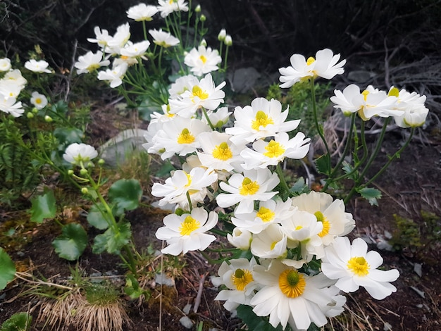 Dryas octopetala white flowers that are blooming.