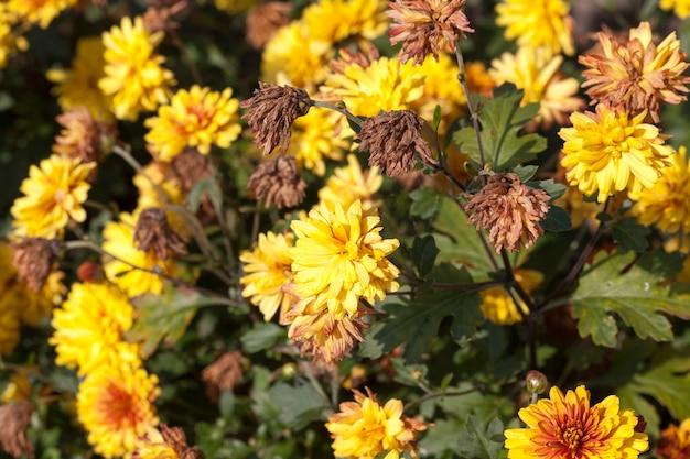 秋の庭の黄色い花の乾燥と枯れ