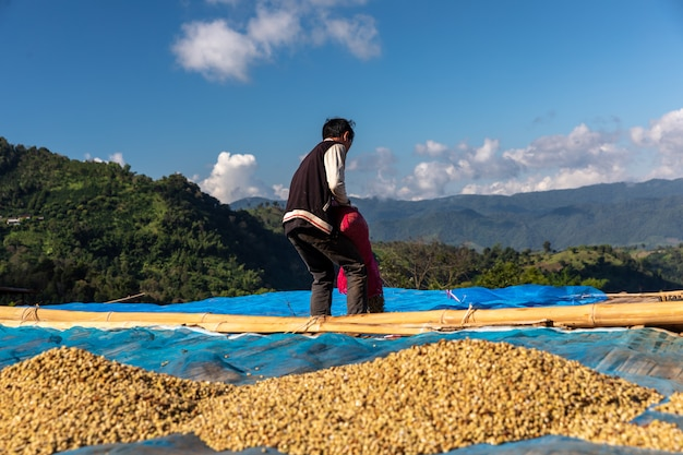 Drying raw coffee bean on the floor local family industry in thailand