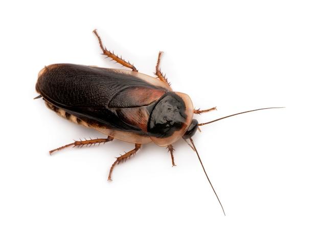Dubia cockroach, blaptica dubia,