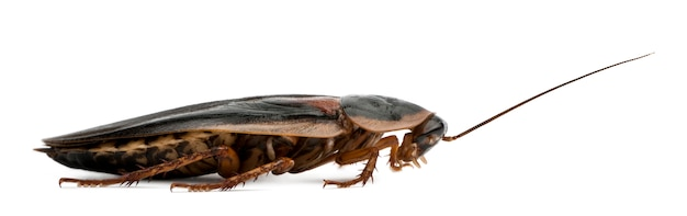 Dubia cockroach, blaptica dubia, Premium Photo