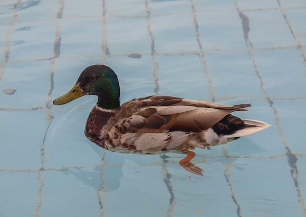 Утиная птица в бассейне