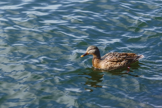 Duck on blue water at beautiful sunny day