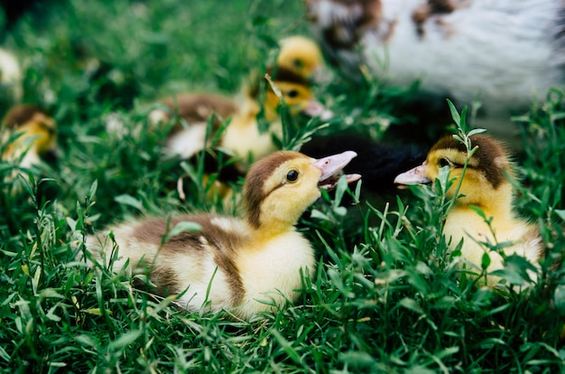 Duck and ducklings running around the flock of green grass.