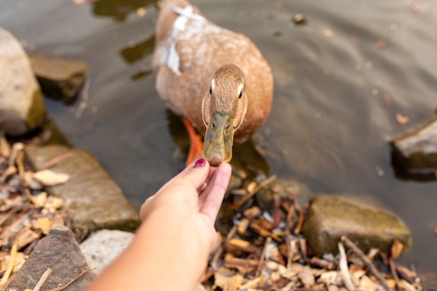Duck eating bread with hands on the lake in a city park