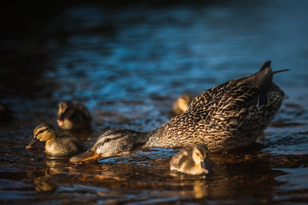 Утиная семья с утками в выборге, россия