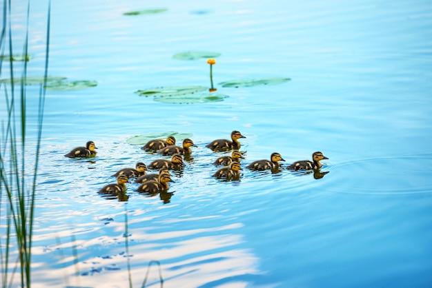 川で泳いでいる小さなアヒルの子がたくさんいるアヒルの家族