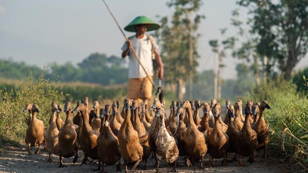 Duck farmer