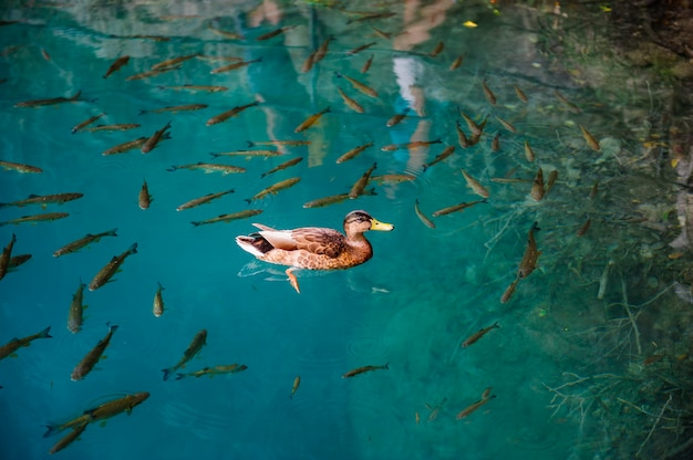Duck and fishes in water of plitvice lakes, croatia