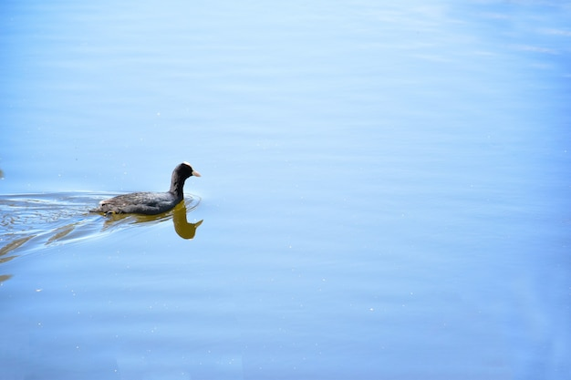 A duck floats on the calm water surface of a lake or river. the right side of the frame is blank