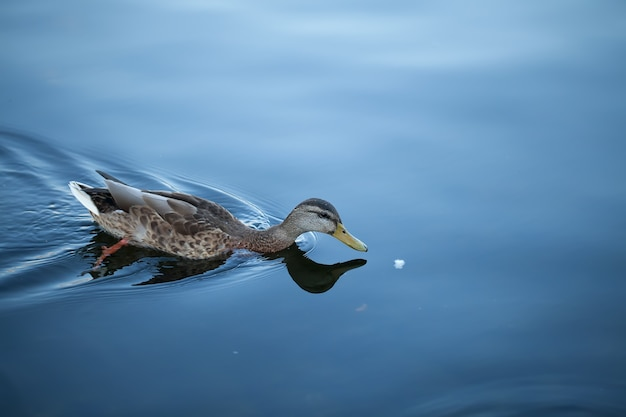 The duck floats behind a piece of bread