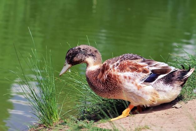 Утка идет в пруд