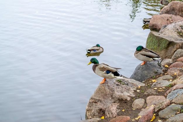 公園の池でアヒルします。石の上に座っている鳥。湖の海岸。