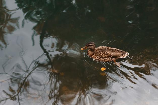 秋のクローズアップで池にアヒル。秋の気分。テキスト用の空き容量
