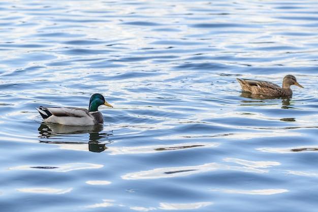 アヒルは湖の青い水の上を泳いでいて、別のものを追いかけています