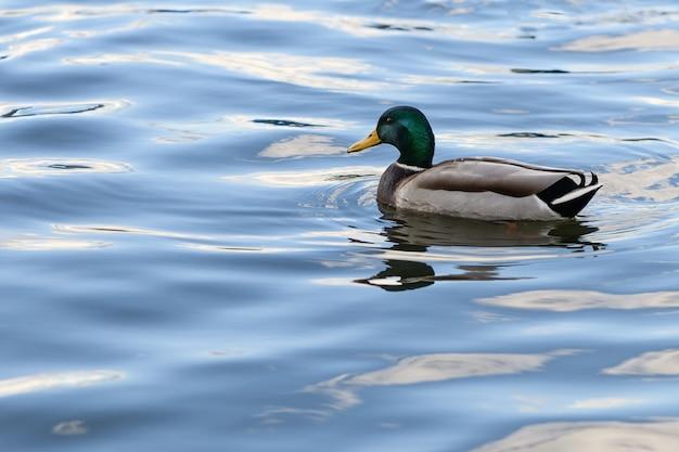 アヒルは湖の青い水の上を泳いでいます