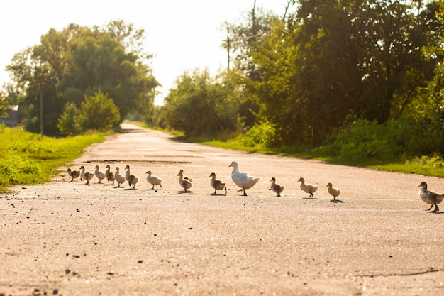 A duck leads its ducklings across the road
