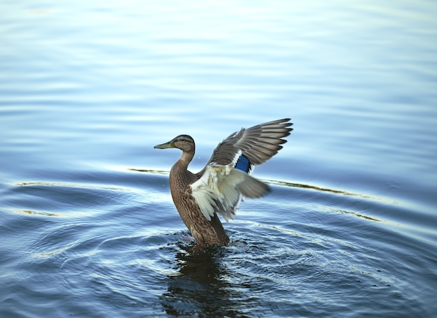 The duck limbers up wings floating in the river