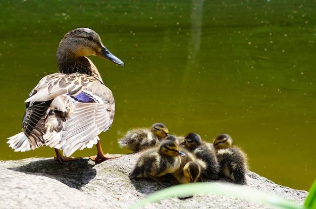 Утка мама с маленькими детенышами утята в озере