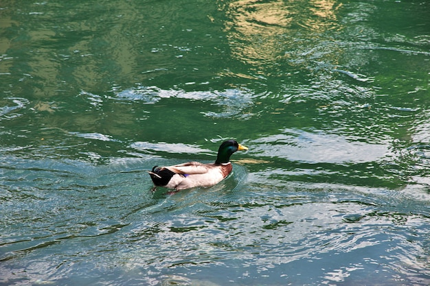 The duck in old town mostar, bosnia and herzegovina