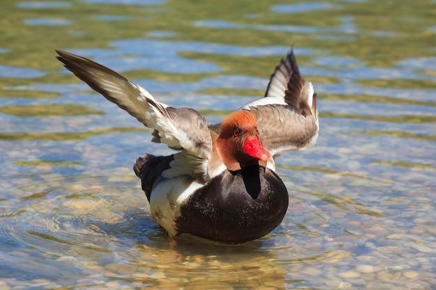 Утка на озере, двигая крыльями