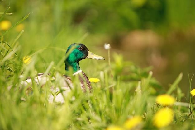 푸른 잔디에 오리