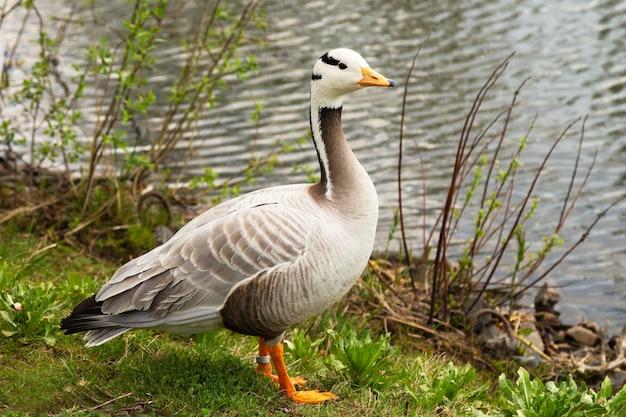 Утка на водной сцене. утка стоит на берегу озера и чего-то ждет. концепция-ожидание