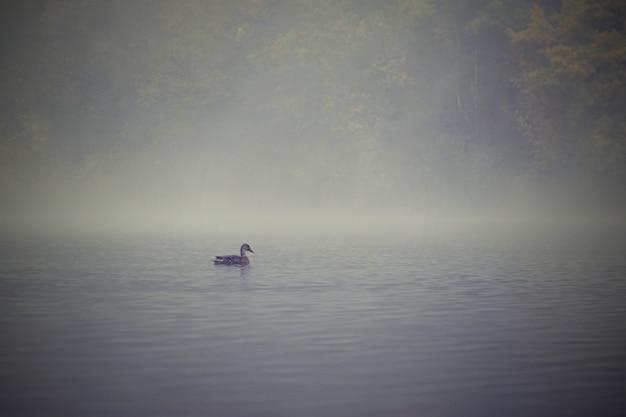 池の水面にアヒル。霧の秋の時間。自然界の動物。ナチュラルカラフルな背景。