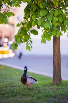 Duck in the park near the tree. turned the beak forward