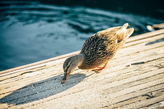 ダッククォックはタホ湖の木製の橋で食べています