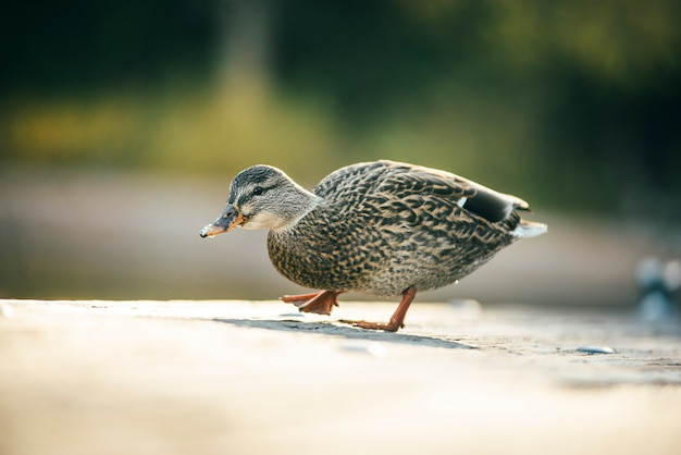 Duck quack is walking on the wooden bridge on the lake tahoe