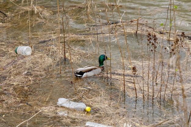 Утка плавает в реке с мусорными бутылками, концепция загрязнения пластиковым мусором