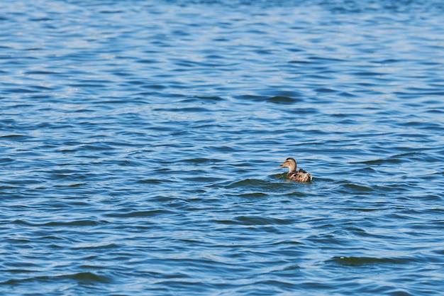 市の湖で泳いでいるアヒル