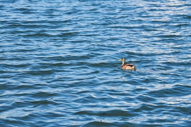 Утка плавает в городском озере