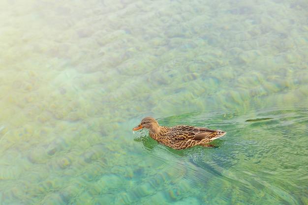 Утка купается в прозрачной бирюзовой воде альпийского озера