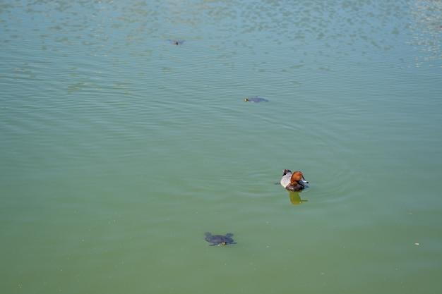 호수 물에서 수영하는 오리