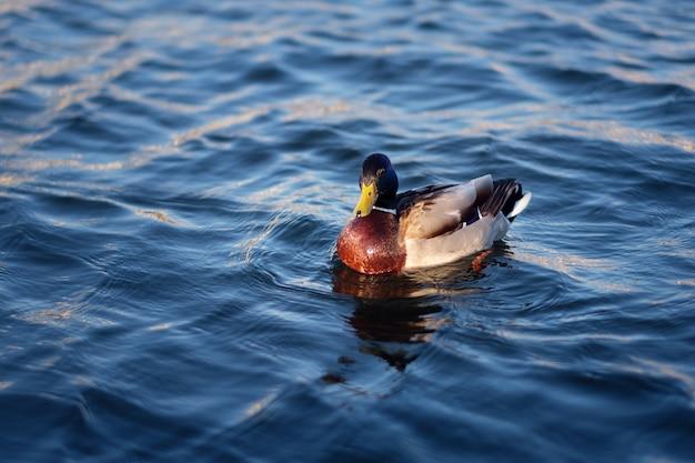 Утка плавает в голубой воде