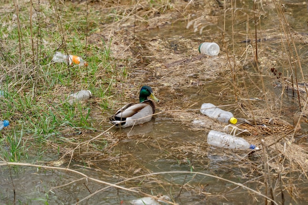 Duck swimming in a river with waste bottles, plastic pollution