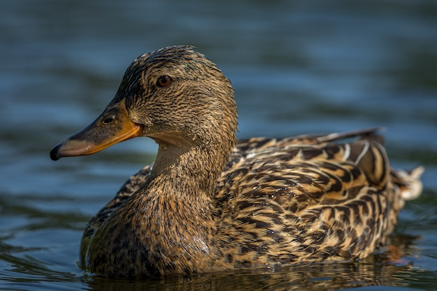 Duck swimming on water