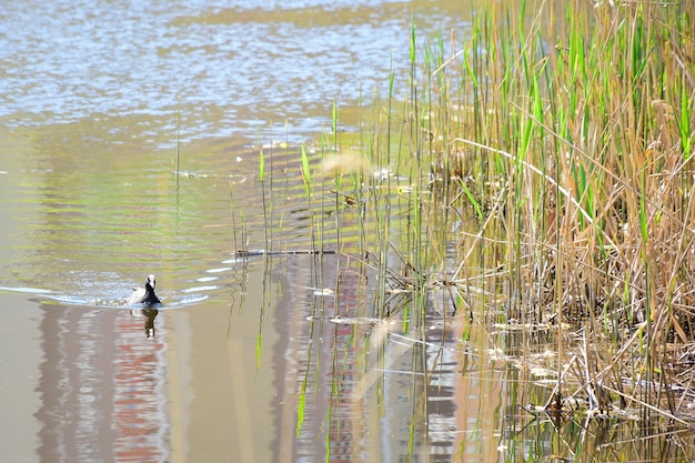 The duck swims along the calm water surface of a lake or river. on the right are thickets of grass